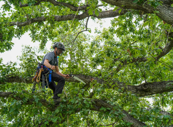 Arborist pruning a swamp white oak