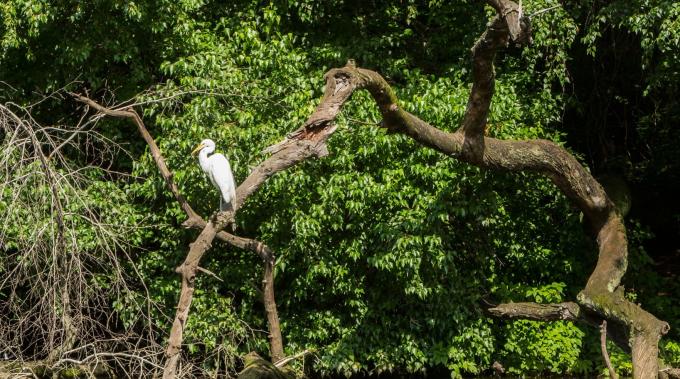 Great Egret perched above the water