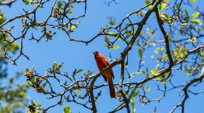 The Northern Cardinal amid budding leaves