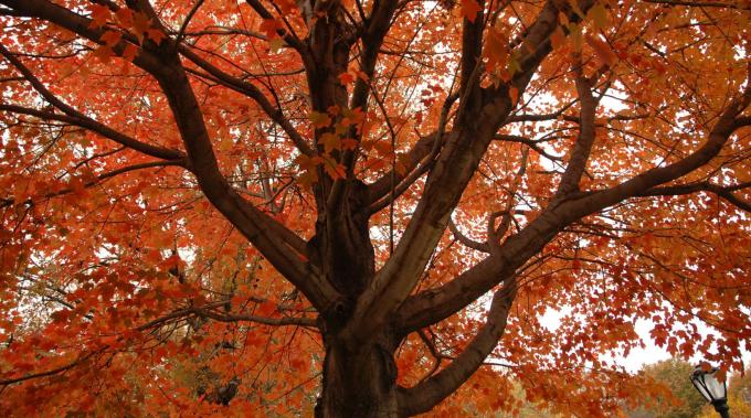 Sugar Maples in spectacular orange