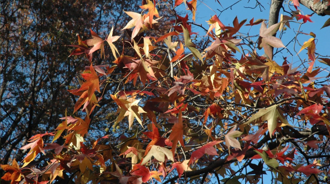 Sweetgum shows red, orange, and pink leaves