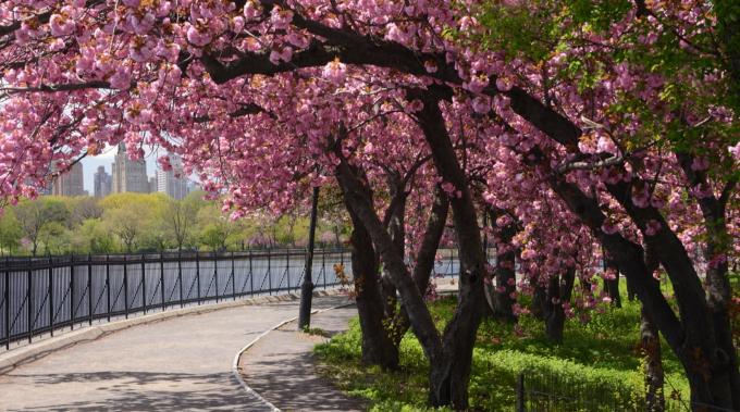Kwanzan Cherry Trees