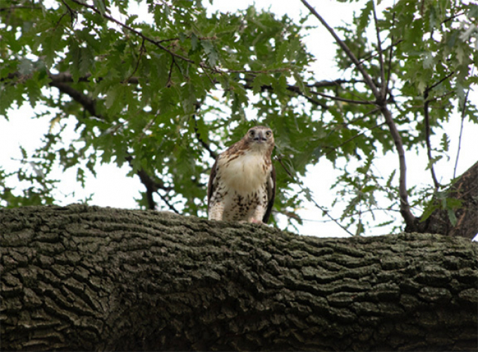 Red-Tailed hawk in the wild