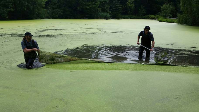 Workers wading through a pale green film of duckweed.