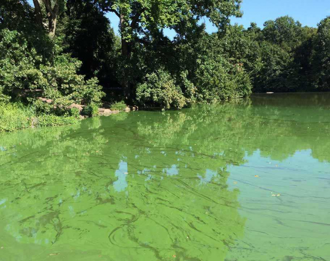 Algal blooms appear as a green film on the Lake