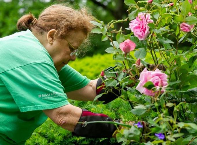 Volunteer Judy stakes rain-sodden roses