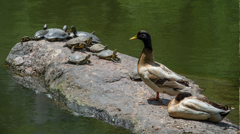 Turtles and Ducks on Turtle Pond