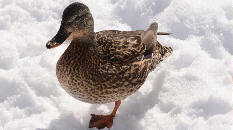 Duck in Snow
