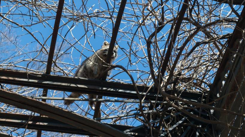 Raccoon at Conservatory Garden