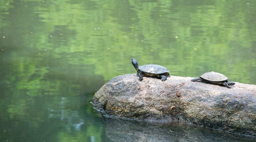 Turtles on Turtle Pond