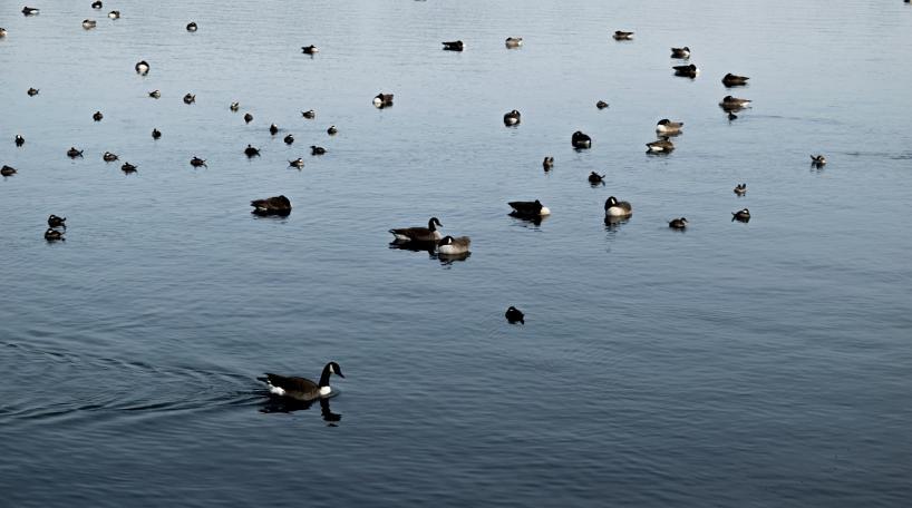 Ducks on the Reservoir