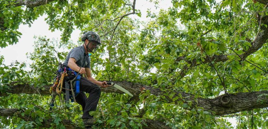 Arborist pruning a swamp white oak