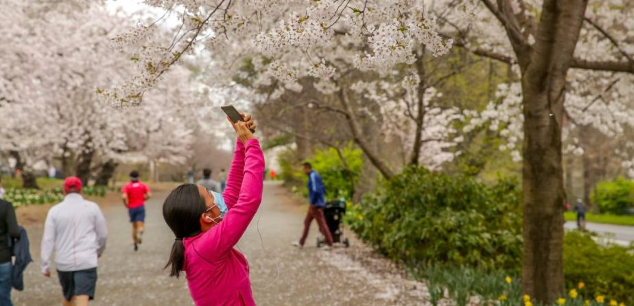 A masked woman photographing cherry blossoms