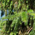 Norway Spruce Leaves