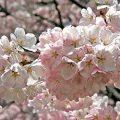 Yoshino Cherry Flowers