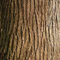 American Elm Bark