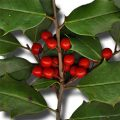 American Holly Fruit