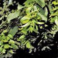 American Hornbeam Fruit