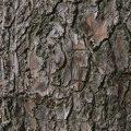American Larch Bark