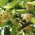 American Linden Flower