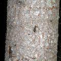 Atlas Cedar Bark
