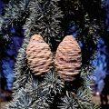 Atlas Cedar Fruit