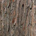 Common Bald Cypress Bark