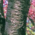 Kwanzan Flowering Cherry Bark