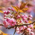 Kwanzan Flowering Cherry Flowers