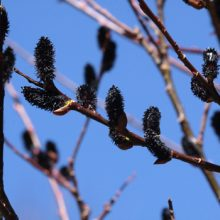 Black Pussy Willow