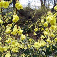 Blooms Buttercup Winterhazel