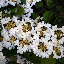 Blooms Doublefile Viburnum