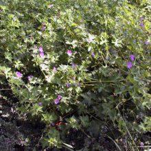 Blooms Geranium