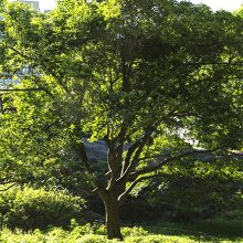 Chinese Fringetree Tree