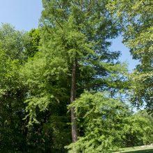 Common Bald Cypress Tree