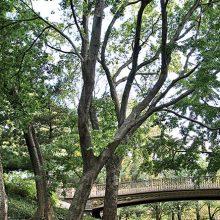 Common Hackberry Tree