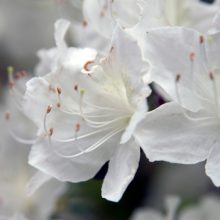 Delaware Valley White Azalea