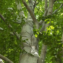 European Beech Tree