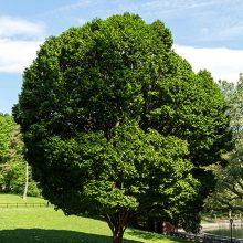 European Hornbeam Tree