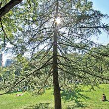 European Larch Tree