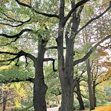 European Turkey Oak Tree