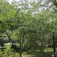 Kousa Dogwood Main