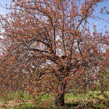 Kwanzan Flowering Cherry
