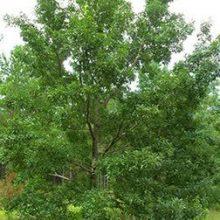 Sawtooth Oak Main