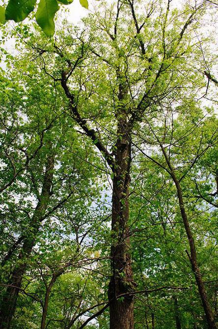 American Linden Tree