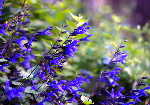 Anise Scented Sage
