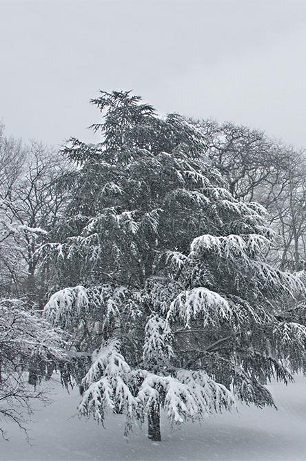 Atlas Cedar Tree