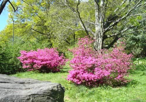 Blooms Azaleas