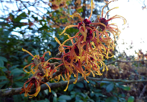 Witch Hazel Central Park Conservancy