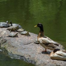 Turtles and ducks share a perch on the pond